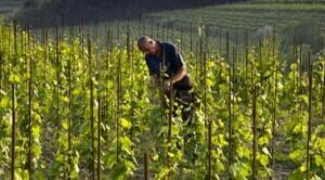 Gravner_wijngaard