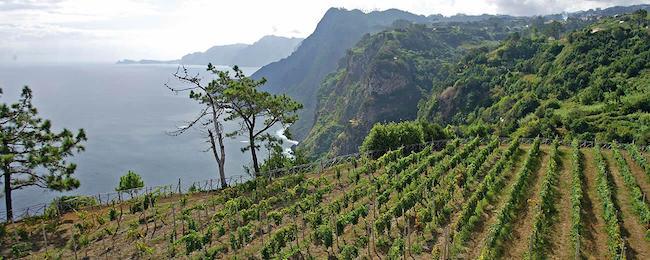 madeira-wijngaard